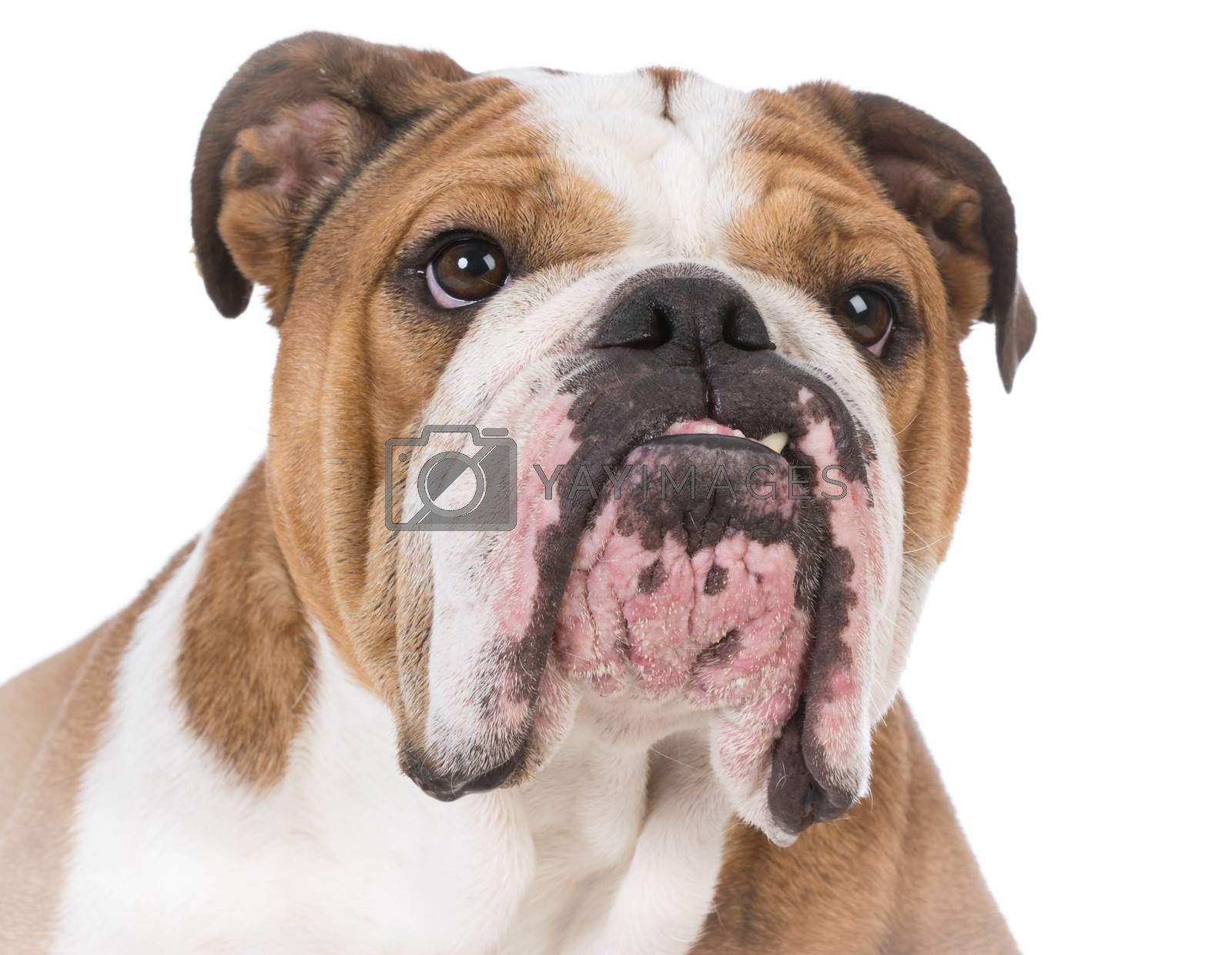 english bulldog portrait on white background