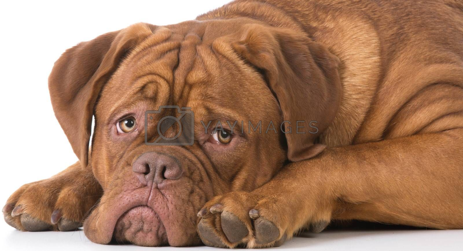 dogue de bordeaux laying down on white background
