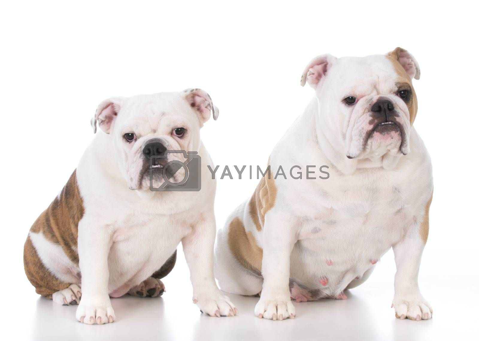 bulldog mother and daughter on white background
