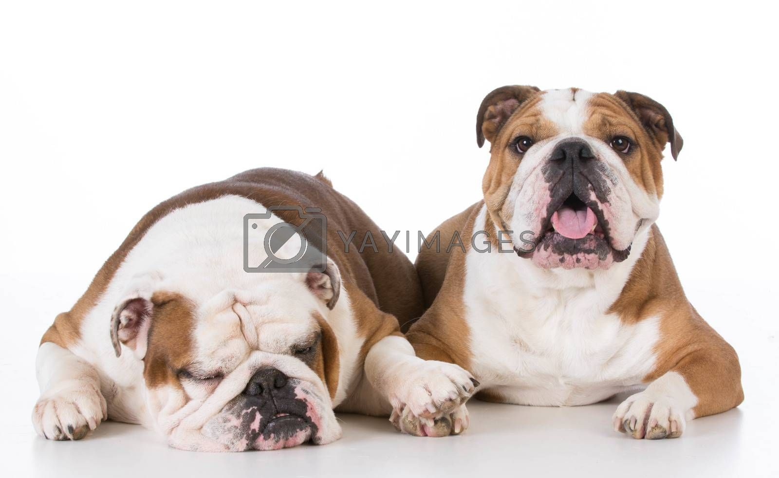 one dog comforting another on white background