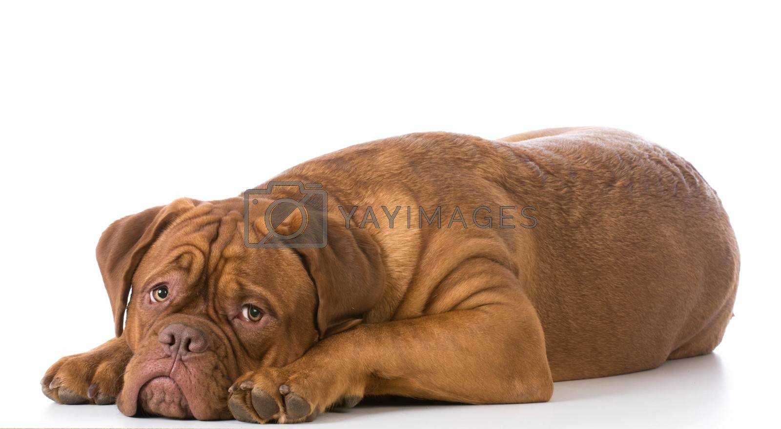 sad looking dogue de bordeaux puppy laying down on white background