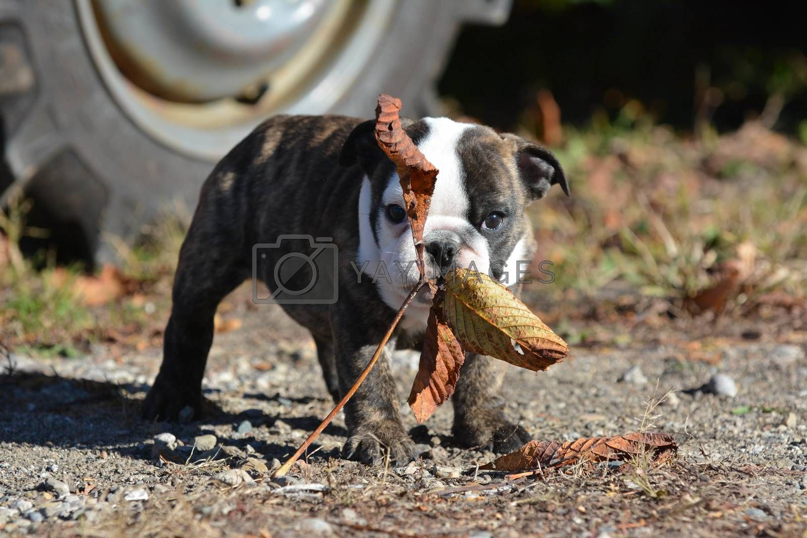 bulldog puppy outdoors playing with a leaf