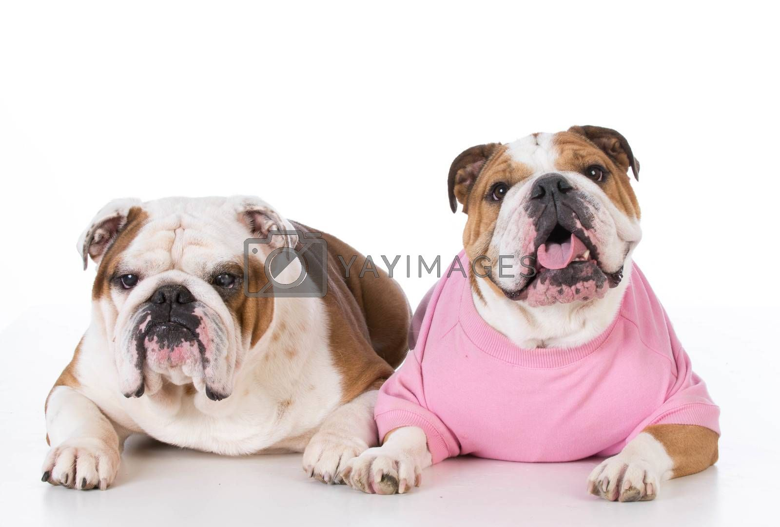 bulldog father and daughter laying down on white background