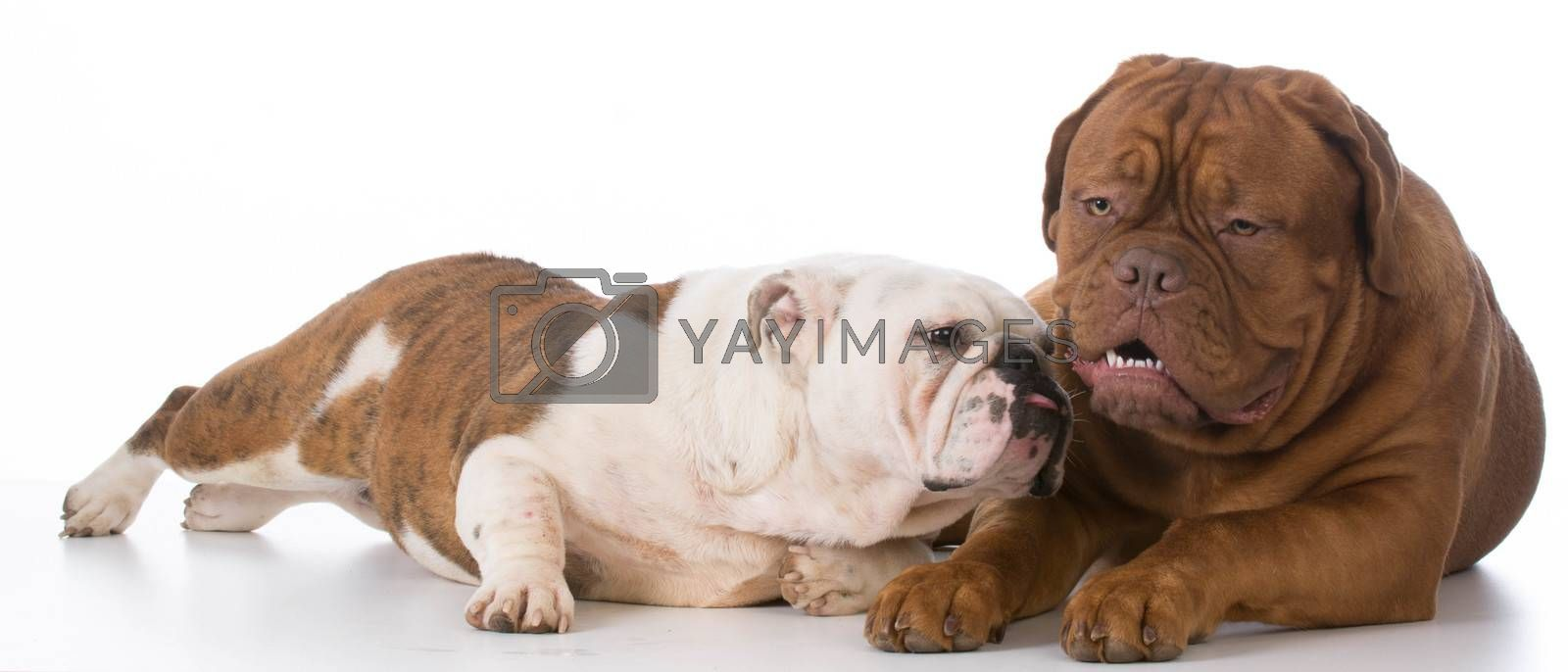 english bulldog and dogue de bordeaux on white background