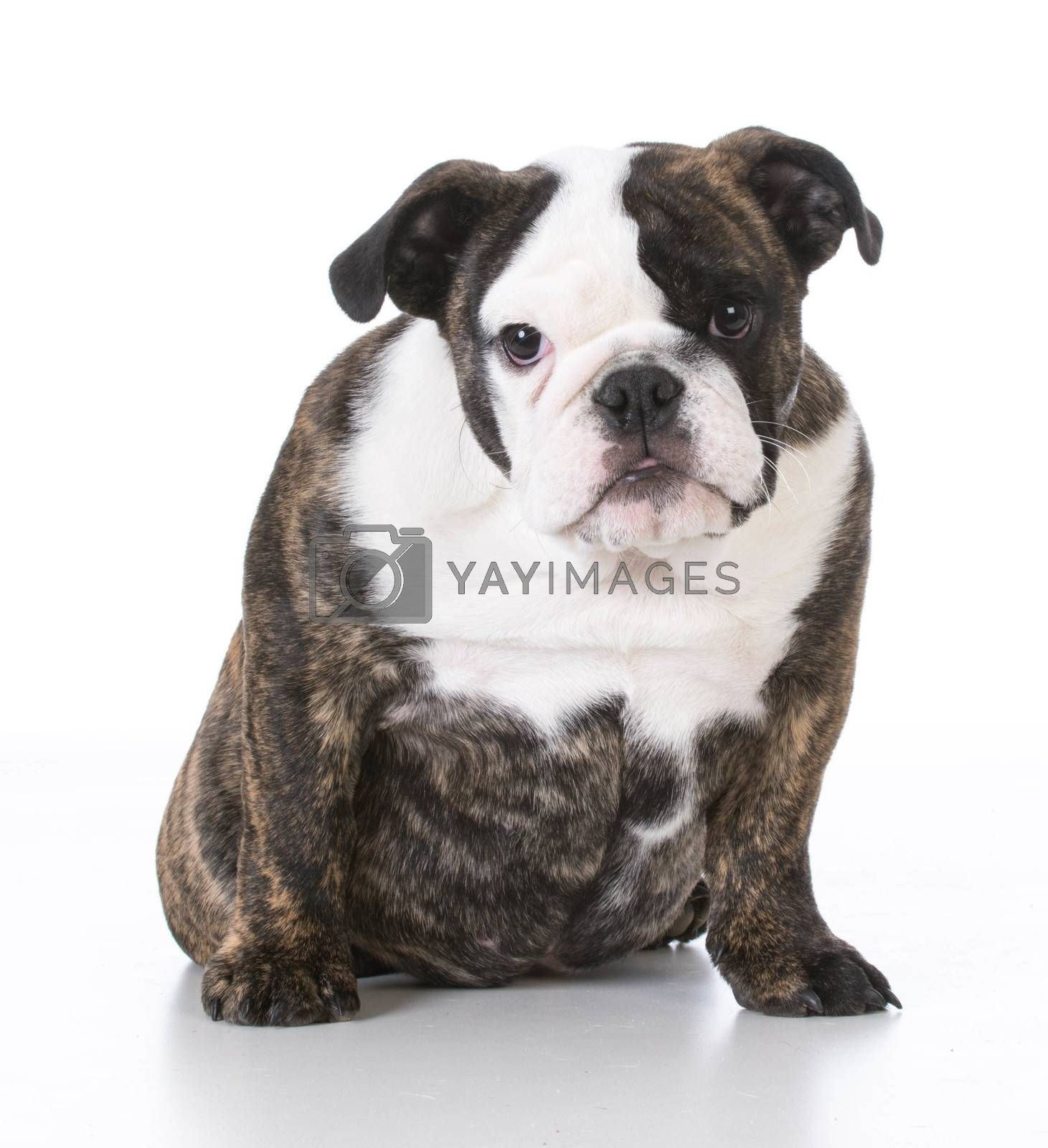 english bulldog puppy sitting looking at viewer on white background