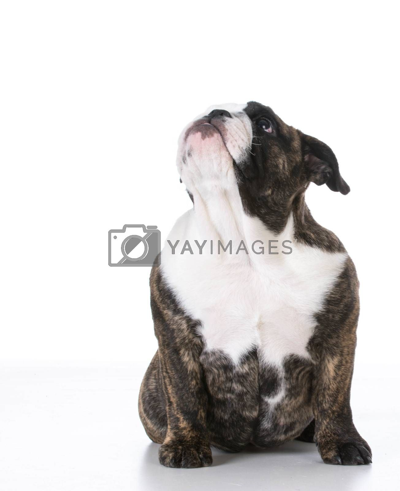 english bulldog puppy sitting looking up on white background