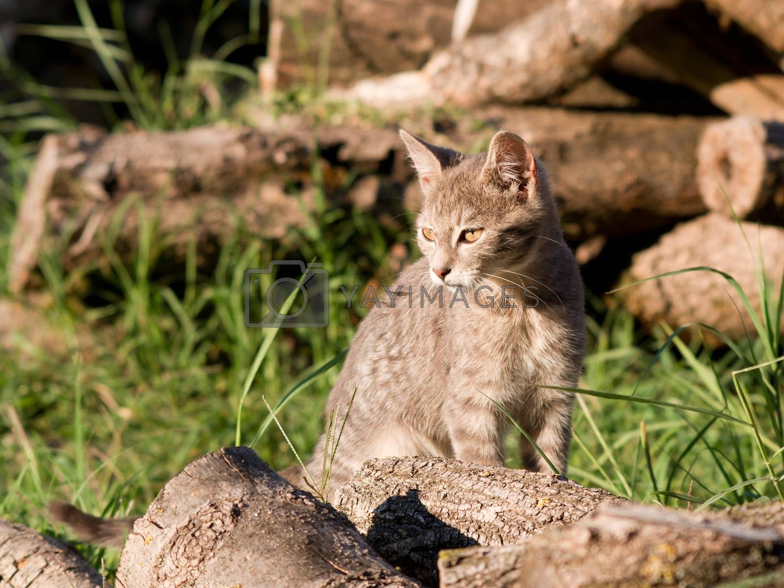 Domestic cat hunts in the woodpile.