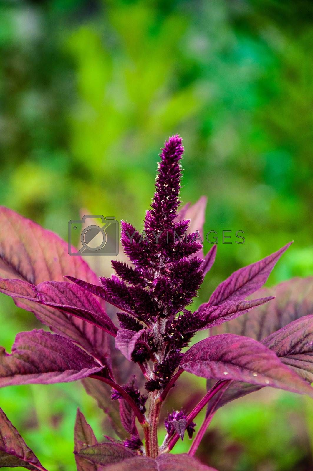 Amaranth has anticancer properties plant, it is called a miracle plant 21 century