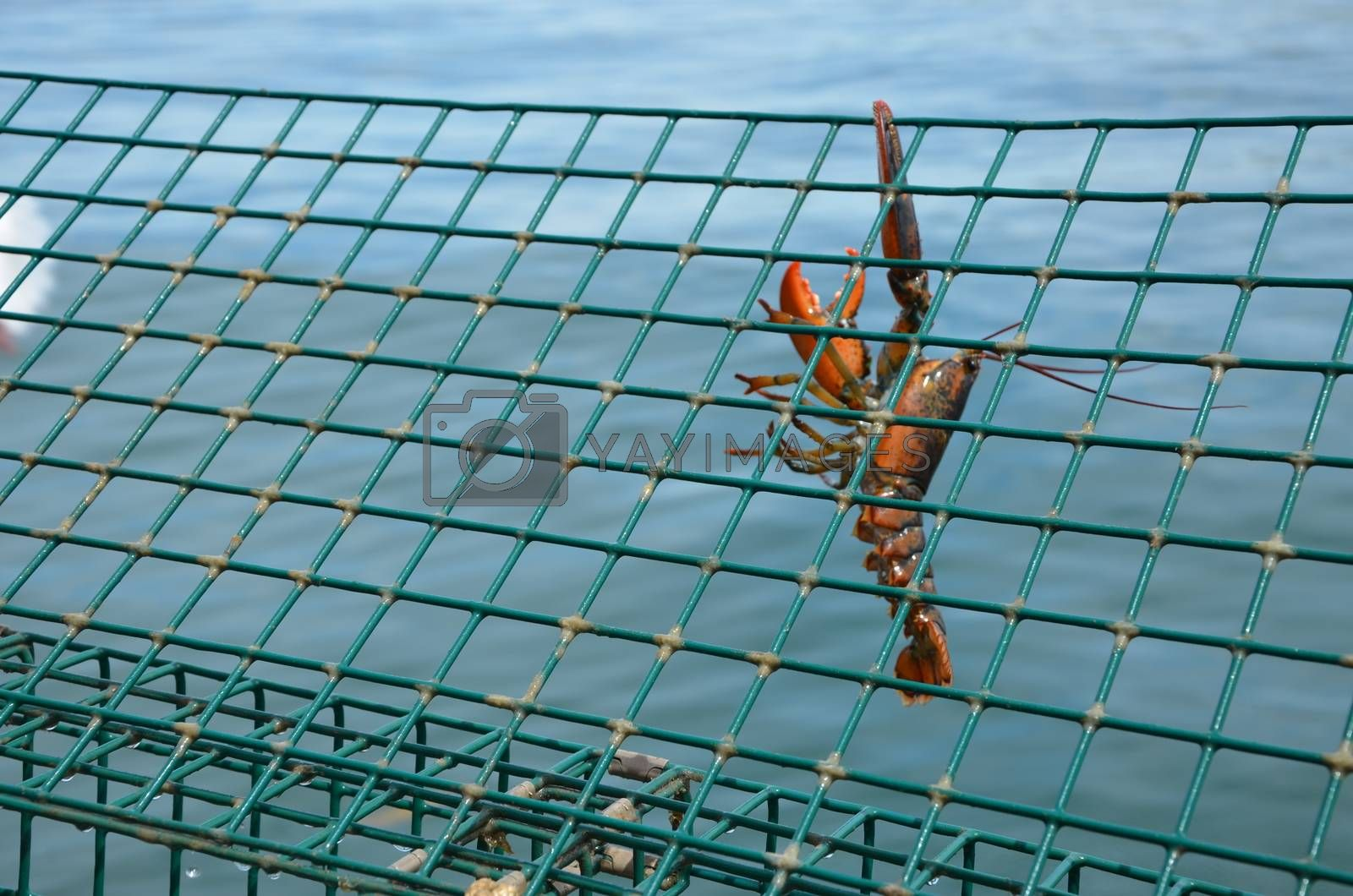Lobster haging from a trap before being dropped back into the sea for being to small.