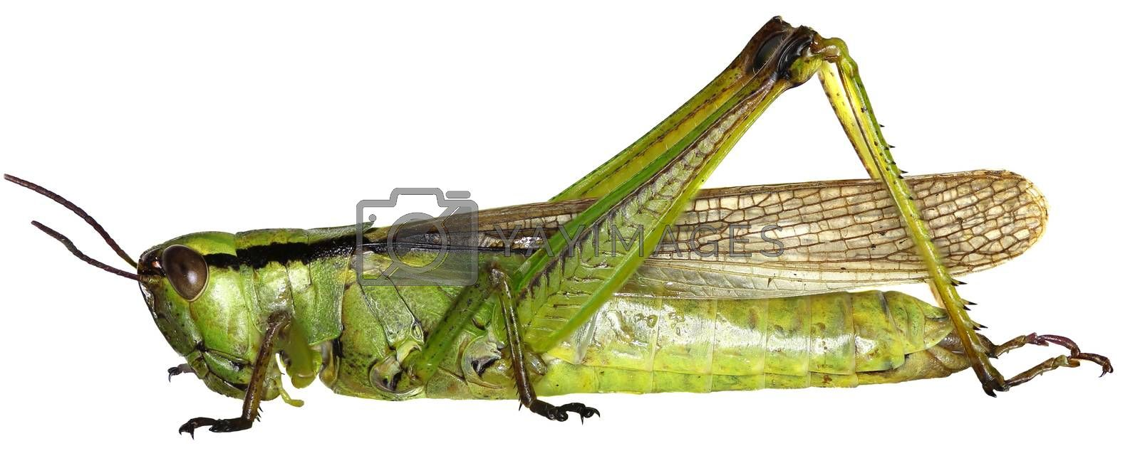 Leek Grasshopper on white Background  -  Mecostethus parapleurus (Linnaeus, 1758)