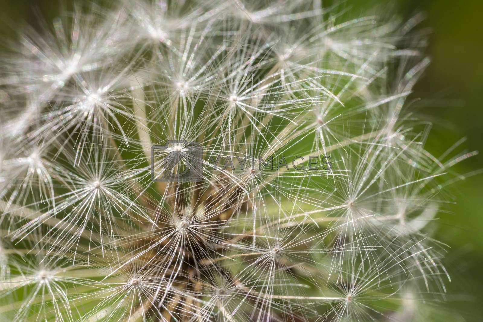 Dandelion with Seeds close up.
