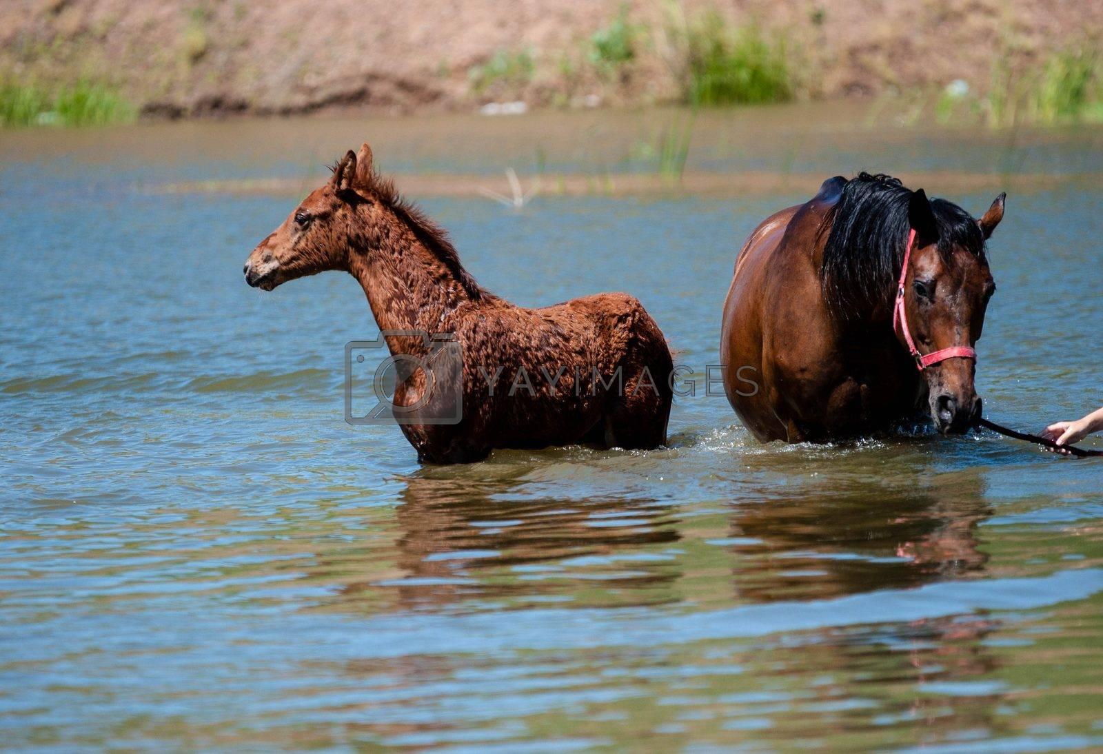 Horses in water by vladimirvasil