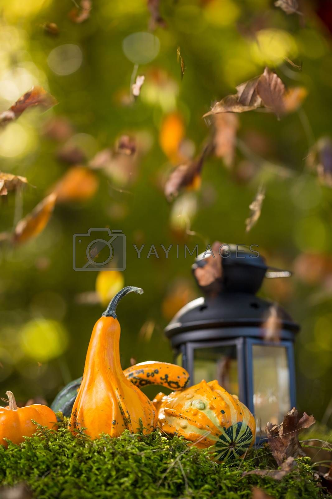 Lantern with burning candles and pumpkins in forest