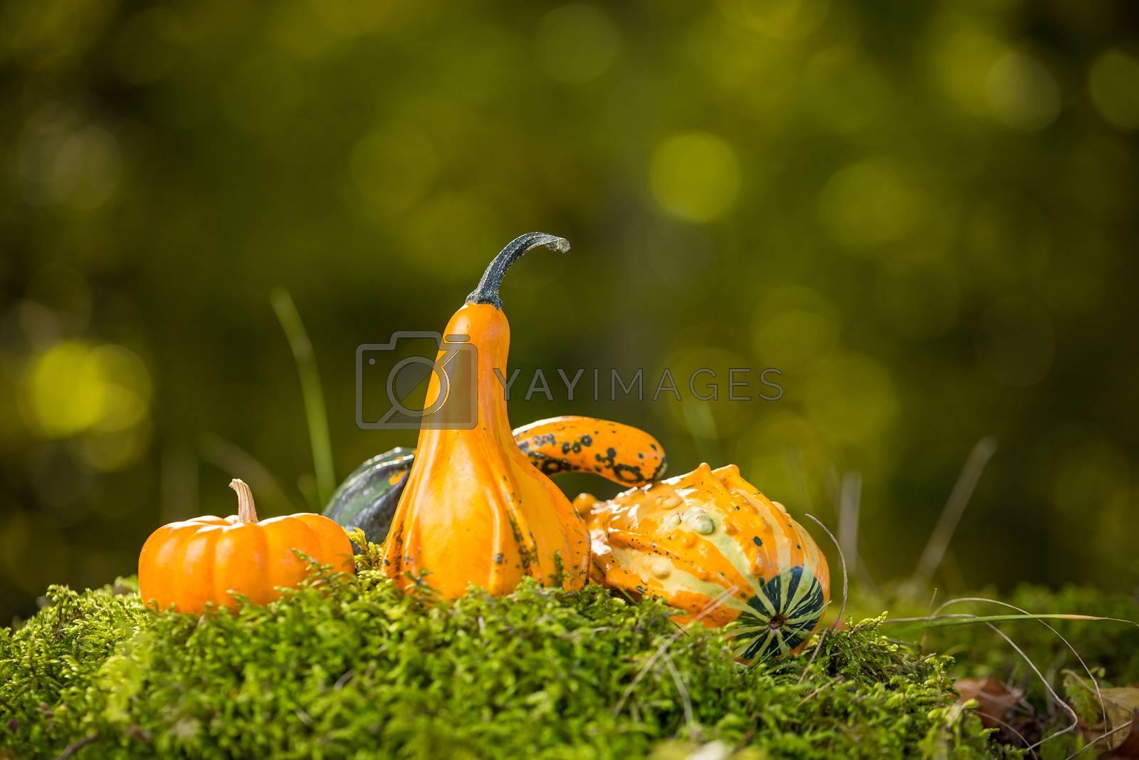 Autumn decor, pumpkins arranged in a pleasing fall outdoor display
