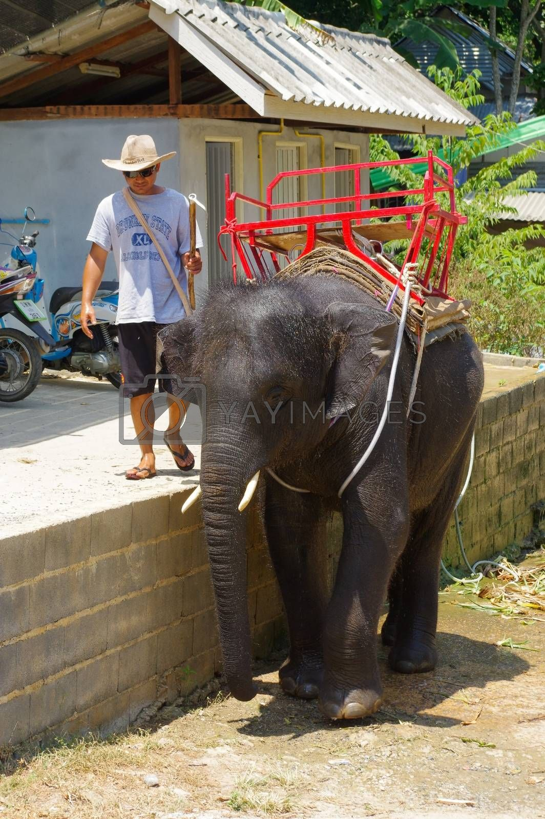 PHUKET, THAILAND - MARCH 28, 2016: baby elephant during washing at a hot day.