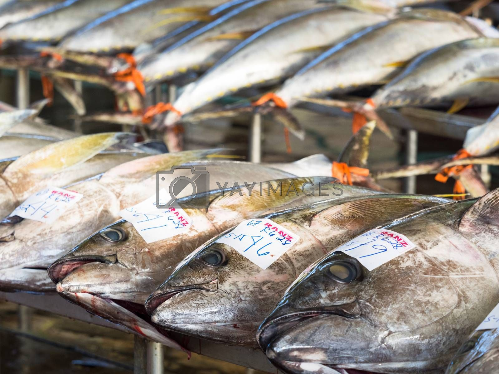 General Santos City - September 1, 2016: Yellowfin tuna lined up for sale at the Tuna Harbor in General Santos City, South Cotabato, The Philippines. General Santos is the Tuna Capital of The Philippines, and the tuna industry is an important contributor the the city's economy with export worldwide.