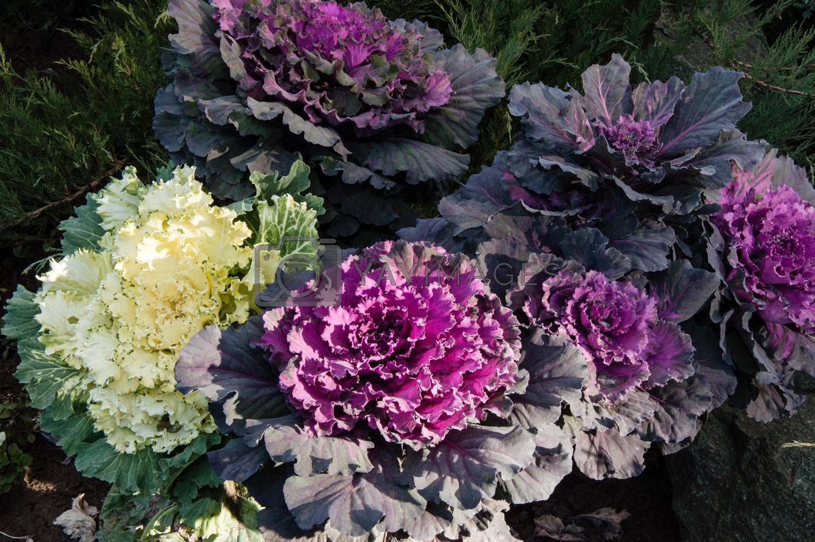 Decorative cabbage in autumn morning in landscape design