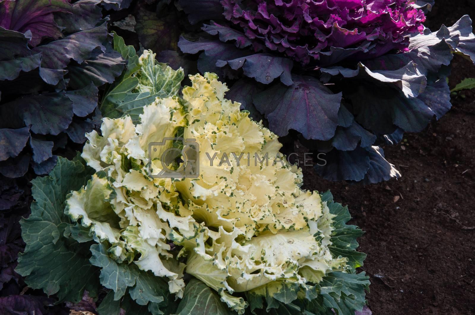 Decorative cabbage in autumn morning in landscape design