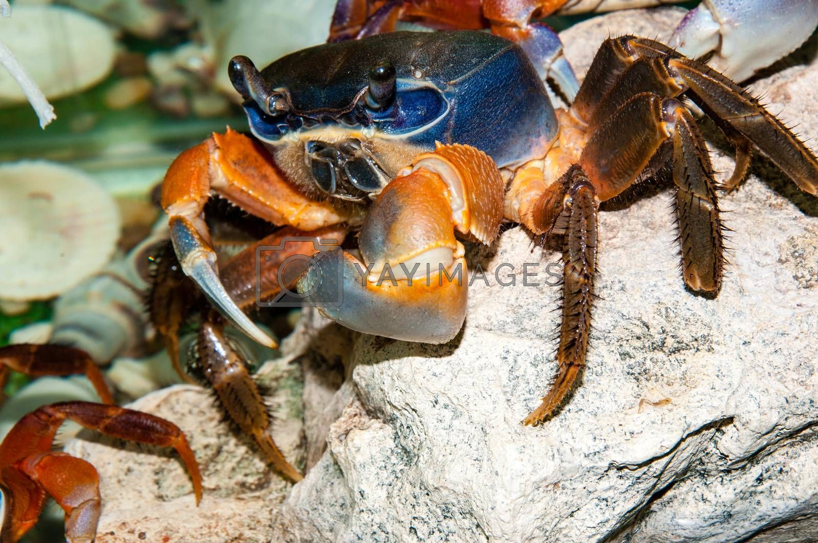 Rainbow crab or Cardisoma armatum in the Aquarium