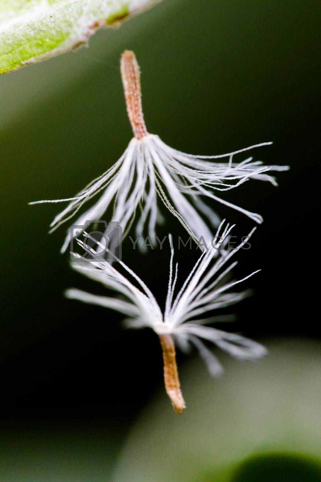 Dandelion seeds dancing in the wind
