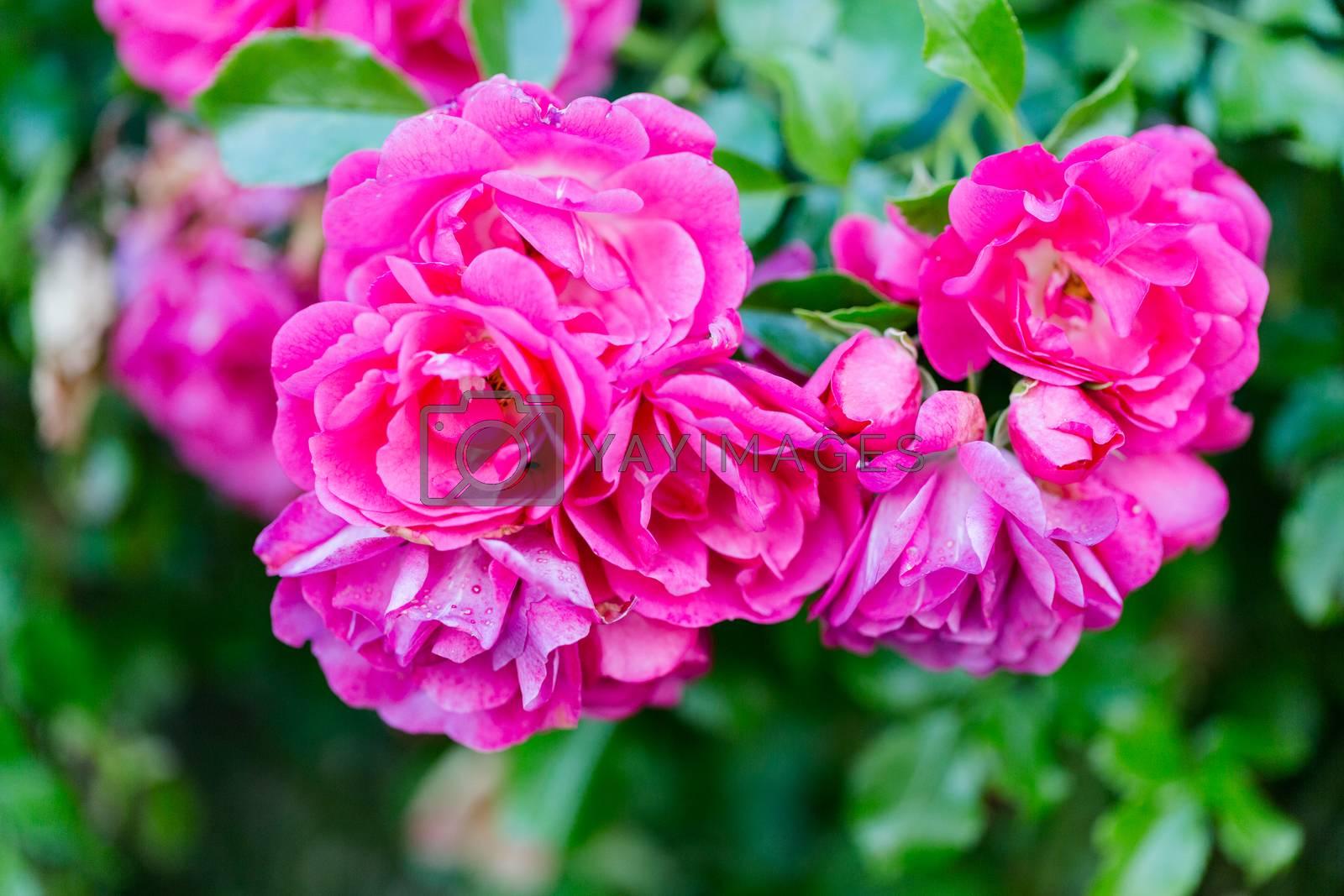 Romance lovely roses in garden