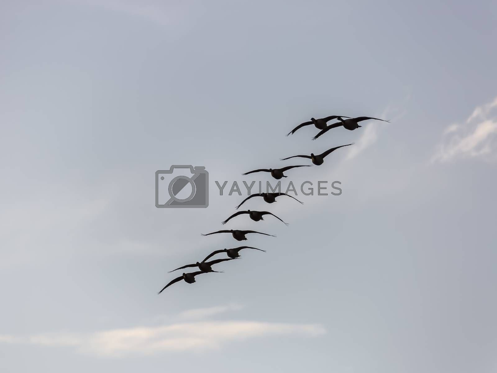 Canada Geese Flying with a blue sky with some clouds.