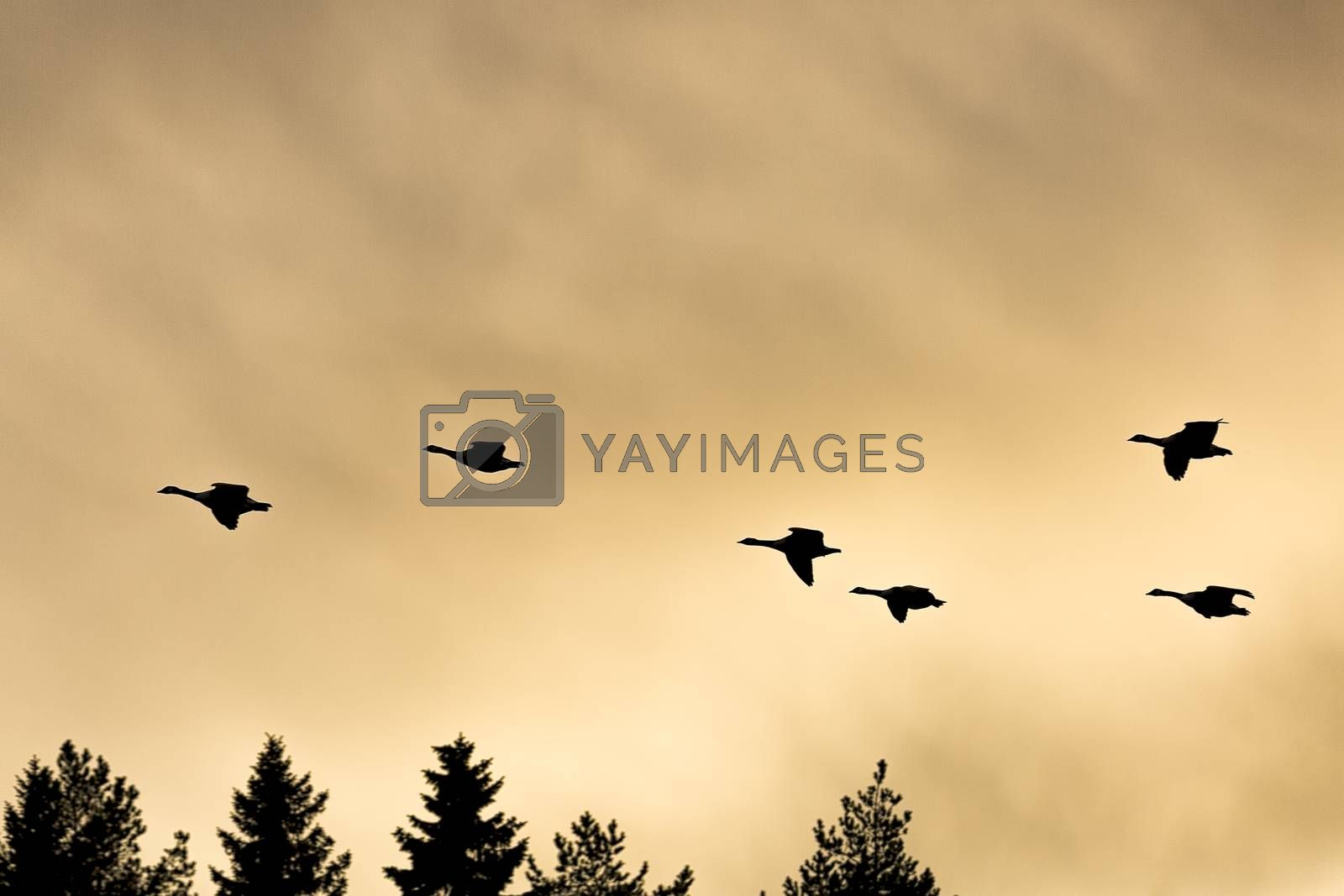Canada Geese Flying over tree-tops with a cloudy sky.