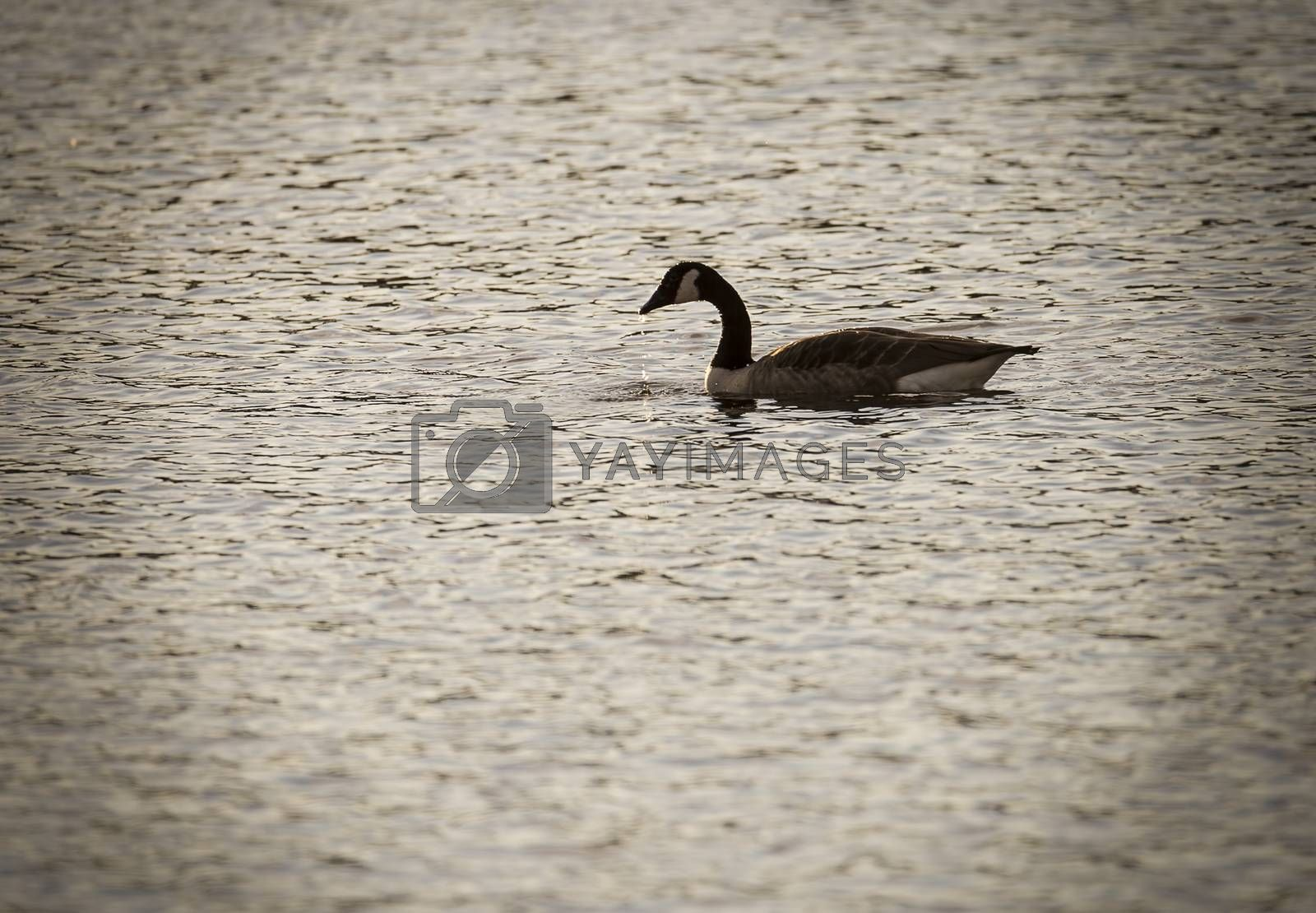 Canada Goose in Water with water dropping from beak.