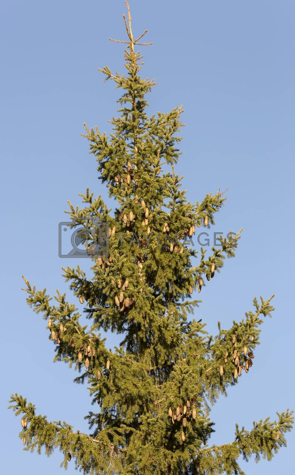 Top of Spruce Tree by Emmoth