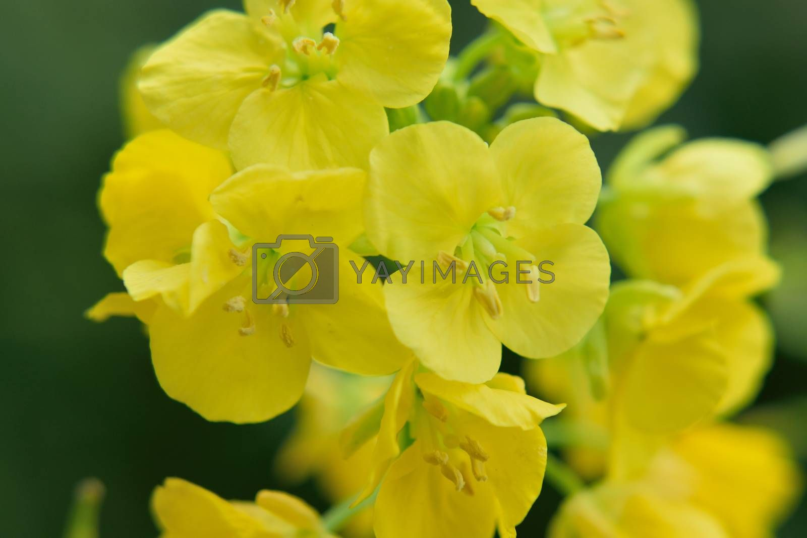 Macro closeup of yellow canola flower in natural background