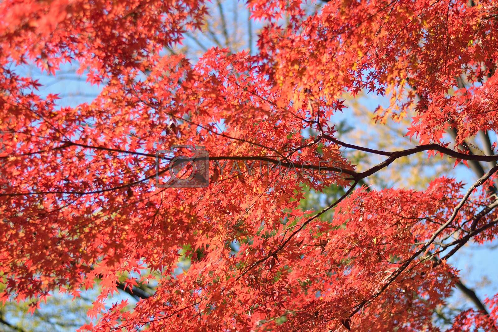 Background texture of Japanese Autumn Maple leaves in horizontal frame