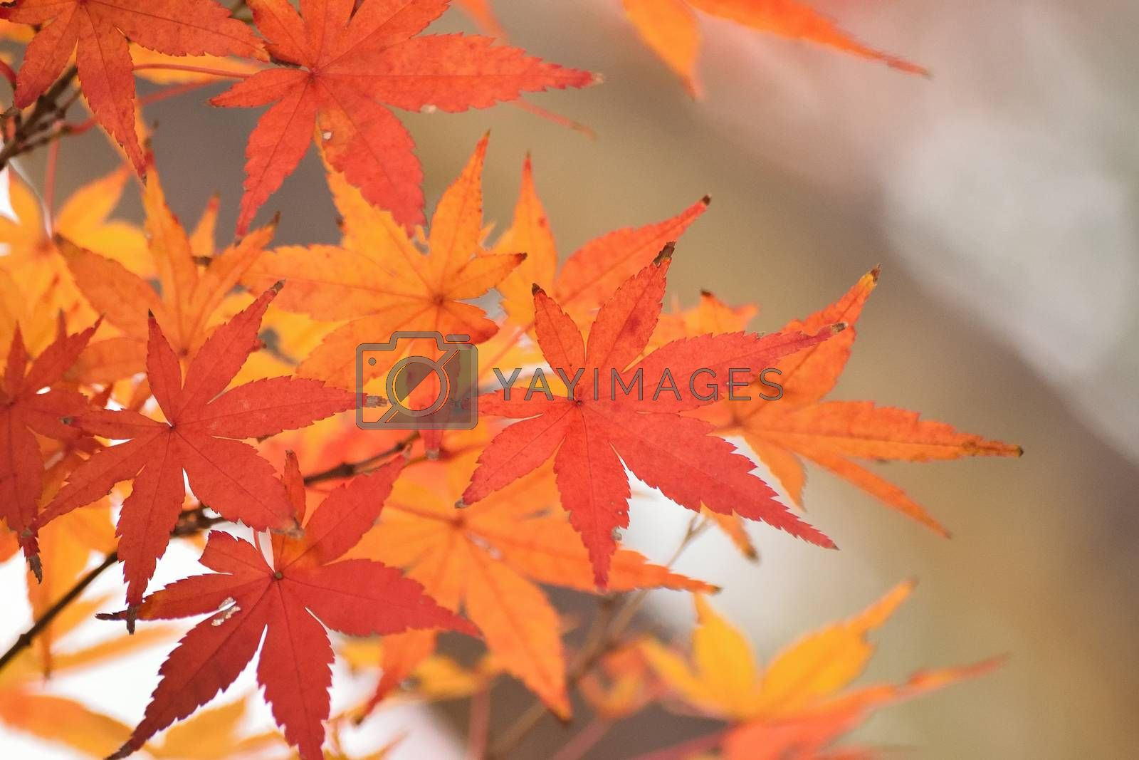 Vibrant Japanese Autumn Maple leaves Landscape with blurred background in horizontal frame