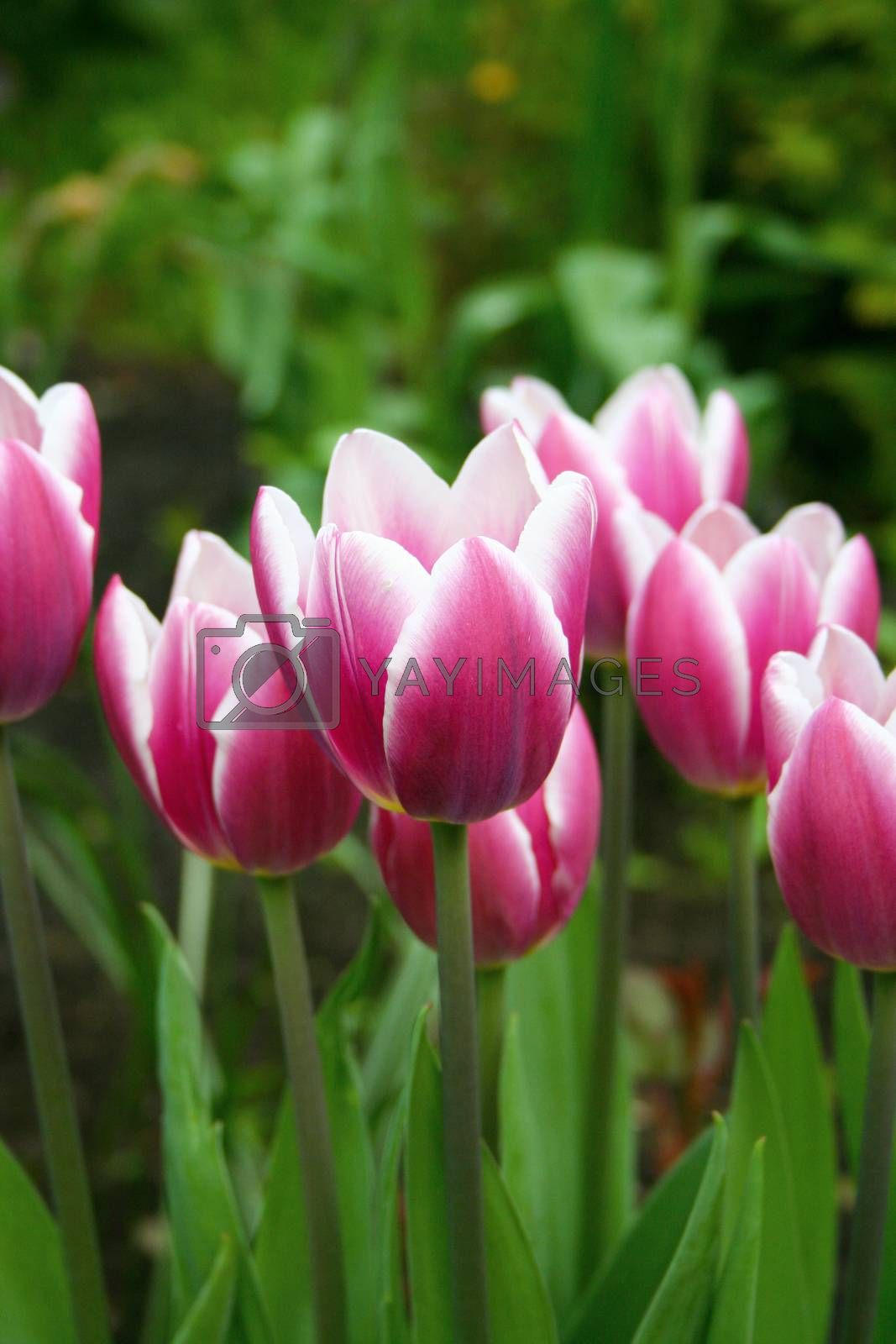Closeup view of pink garden tulips with defocused bokeh background
