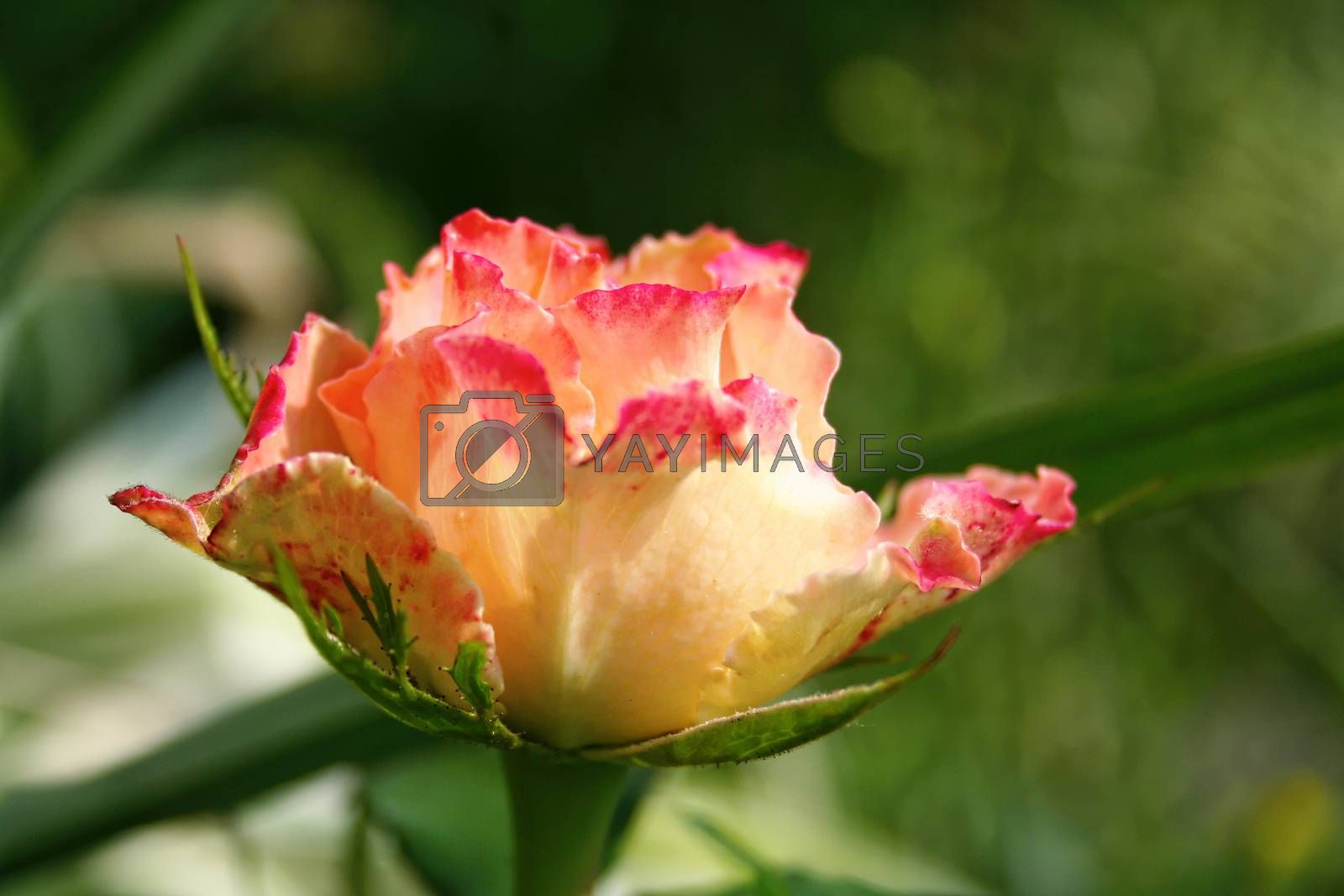 Closeup view of garden rose with defocused bokeh background