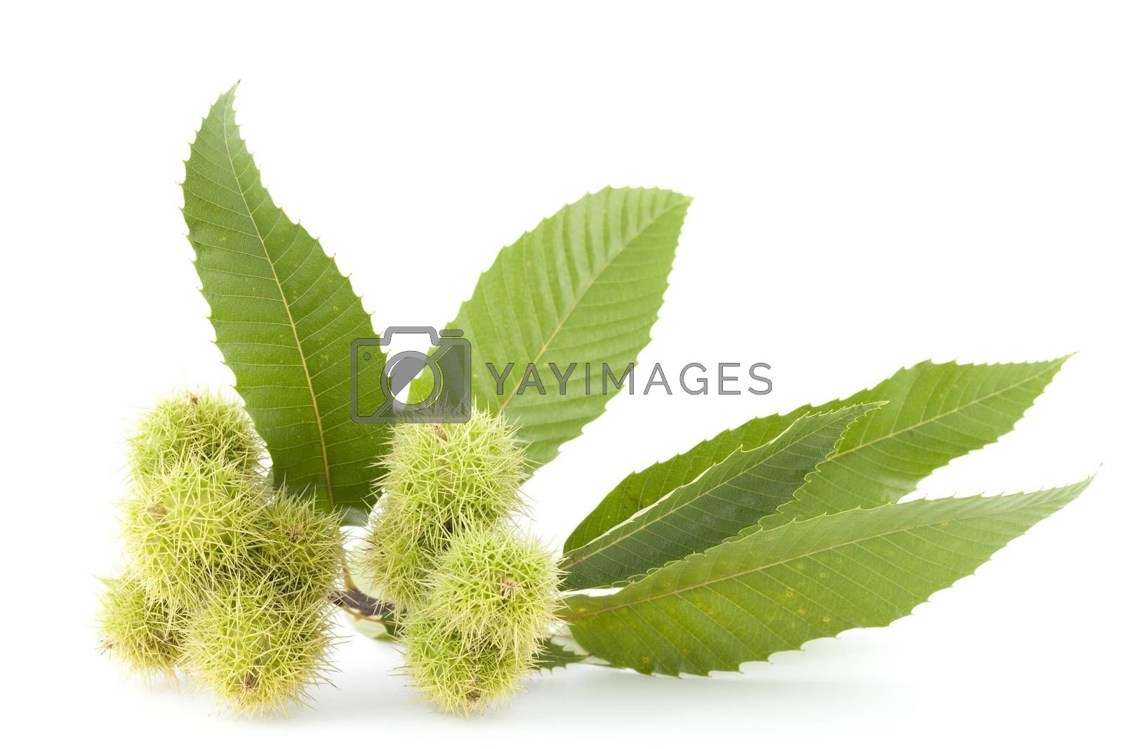 branch with unripe chestnuts on white background