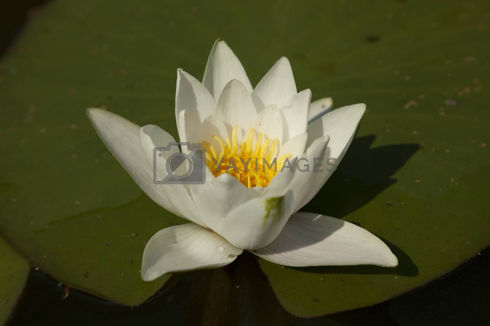 white water lily with leaf on water