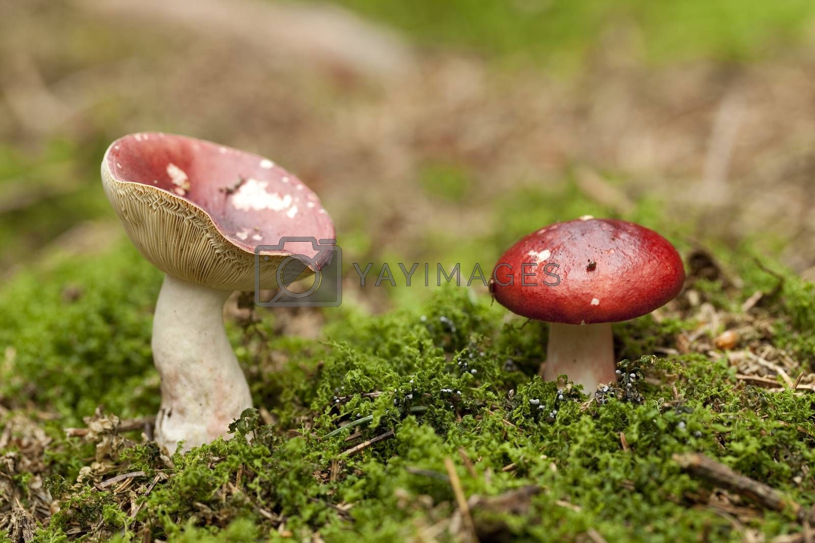 red mushroom inedible ( Russula paludosa) in forest