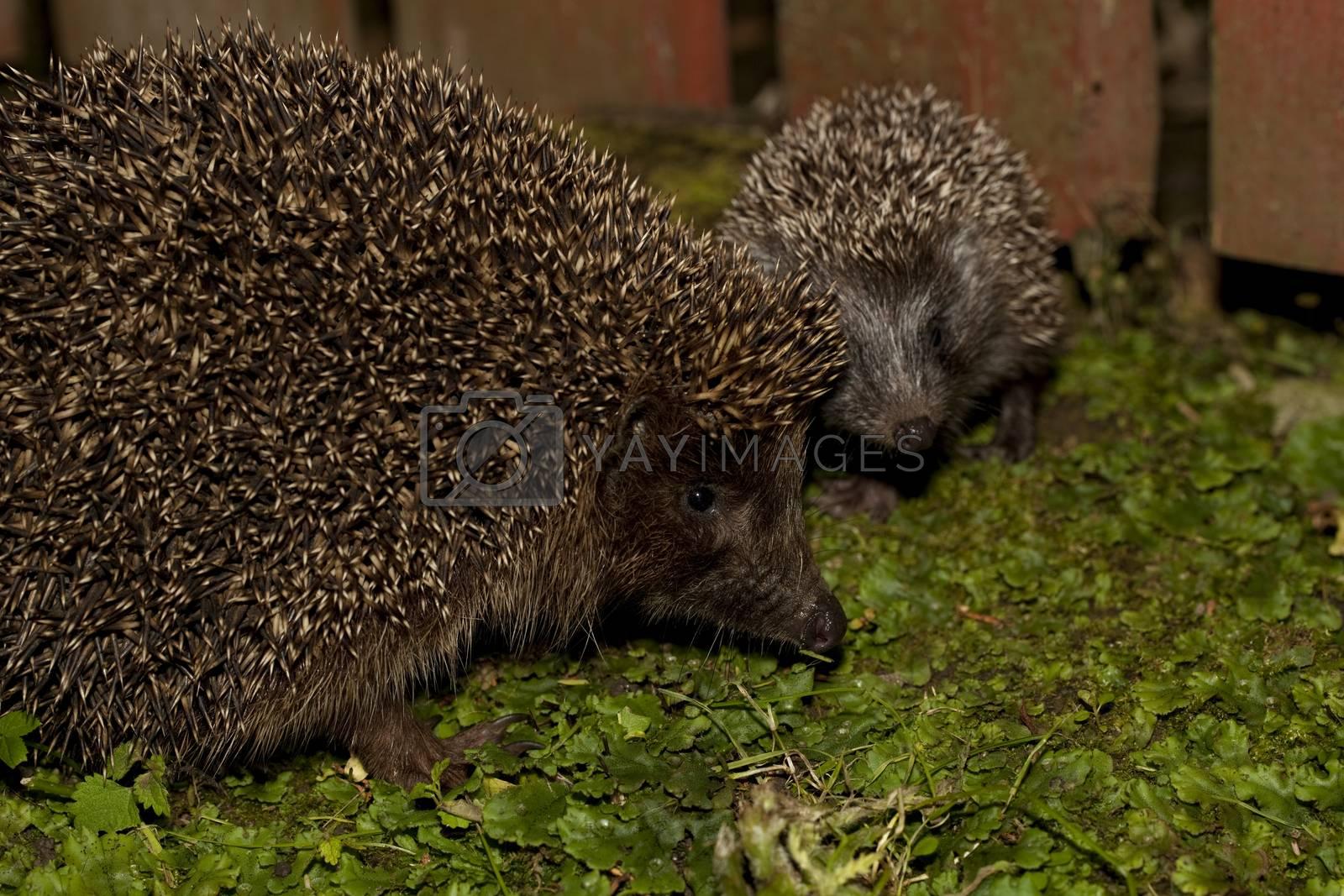 hedgehog by dabjola