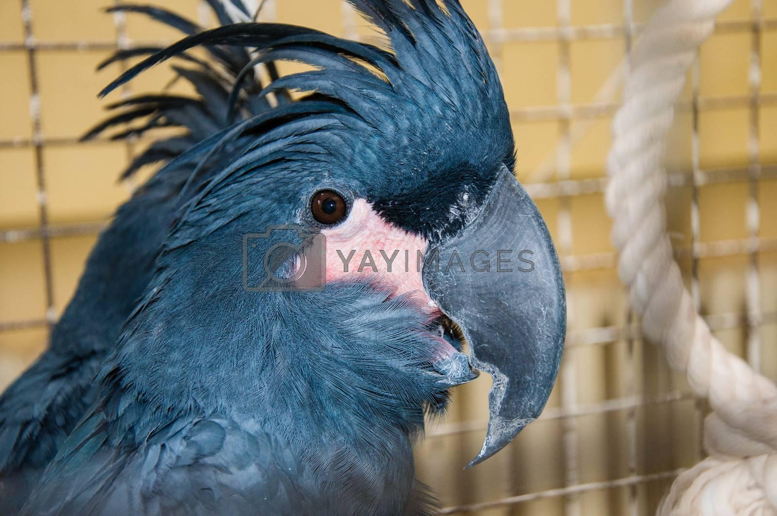 Portrait of black cockatoo by vladimirvasil