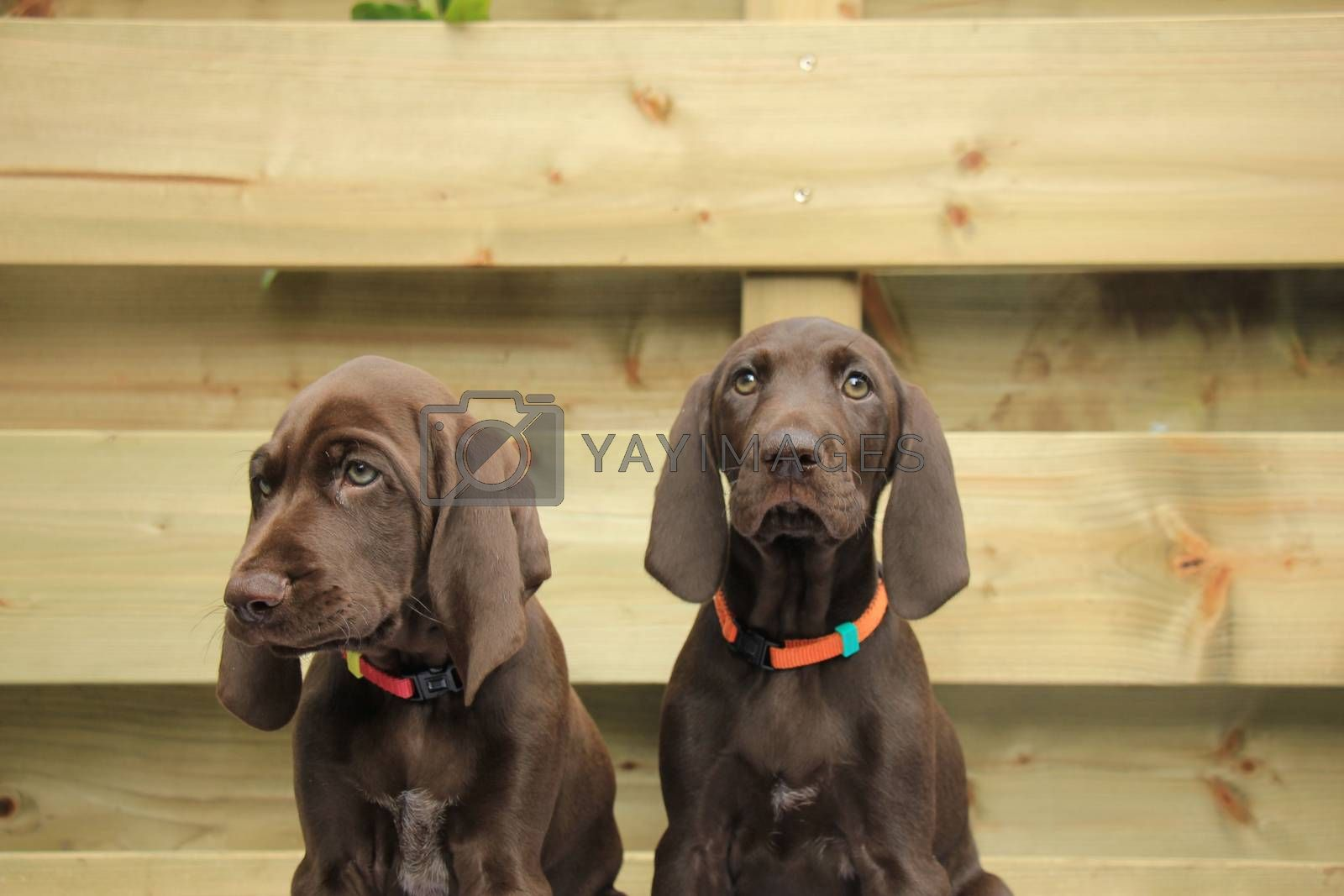 German shorthaired pointer puppies, 8 weeks old, solid liver, sisters