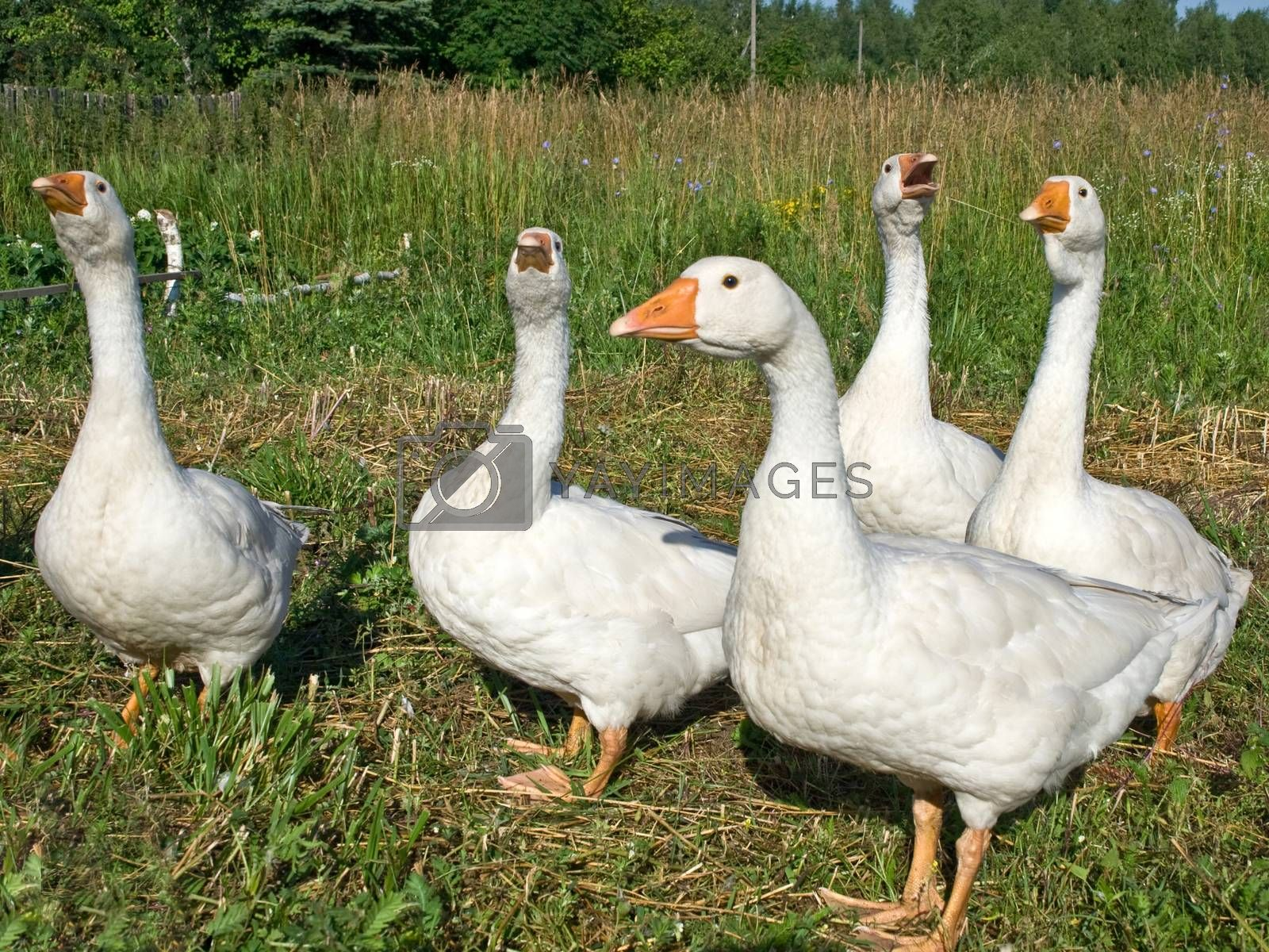 Poultry the goose on a years meadow on a farm