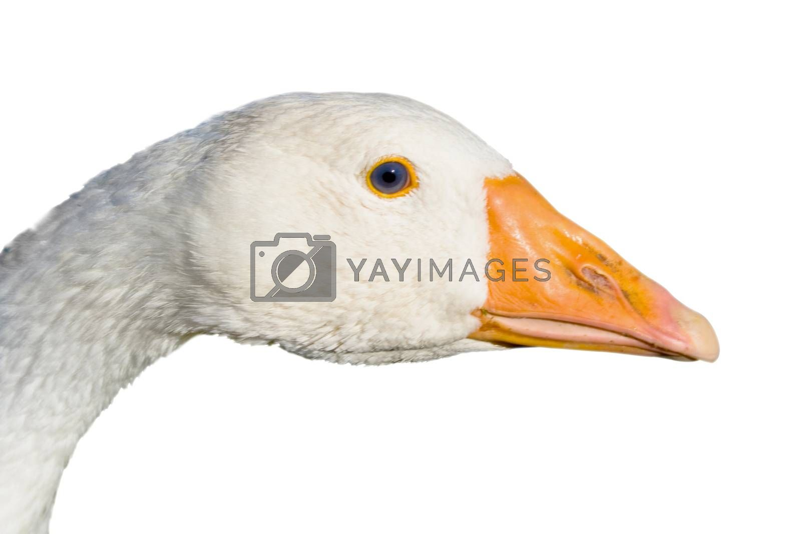 Head of the goose close up isolated on a white background