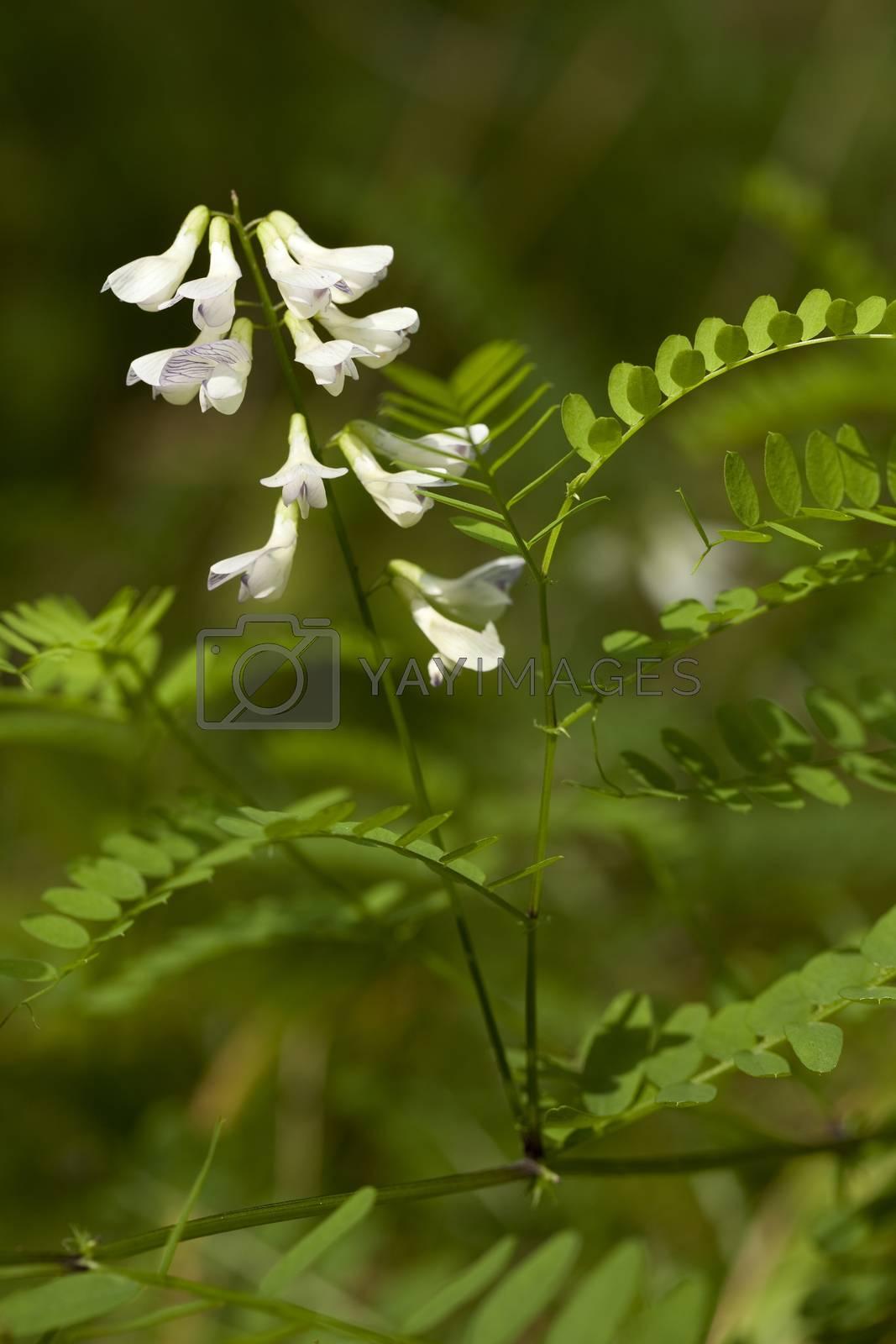 Vicia sylvatica  by dabjola