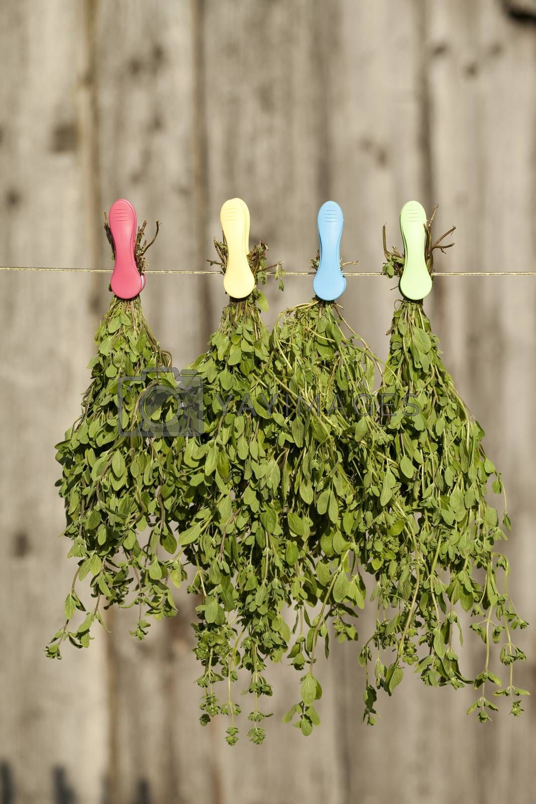 fresh marjoram (Origanum majorana) hang on string