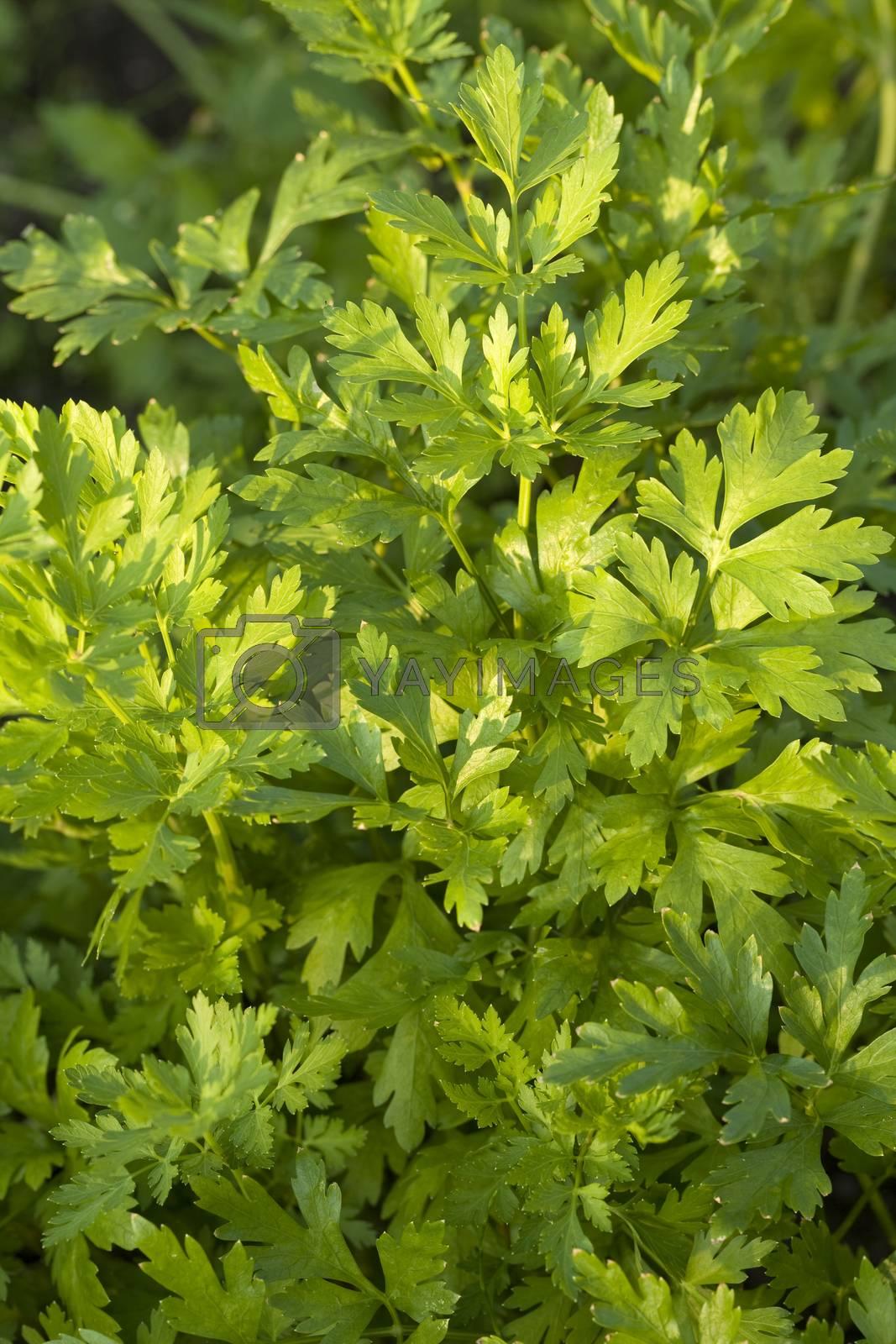 cluster green parsley (Petroselinum crispum) as background