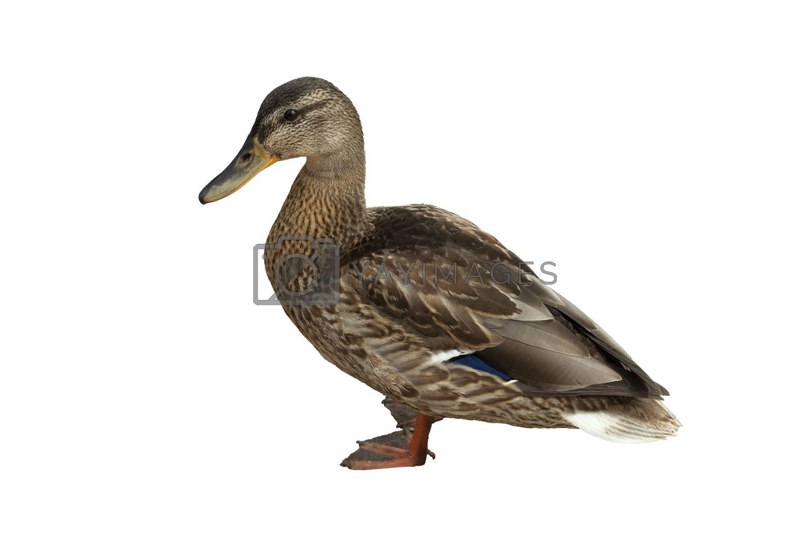 wild duck by dabjola