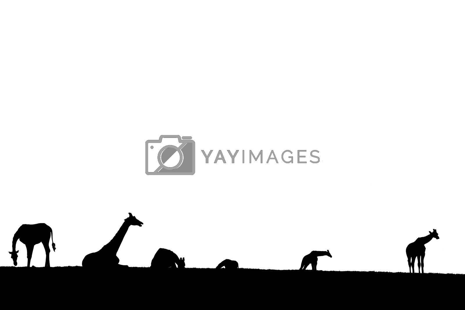 giraffes silhouette gathering in the grass on fota wildlife park in county cork ireland