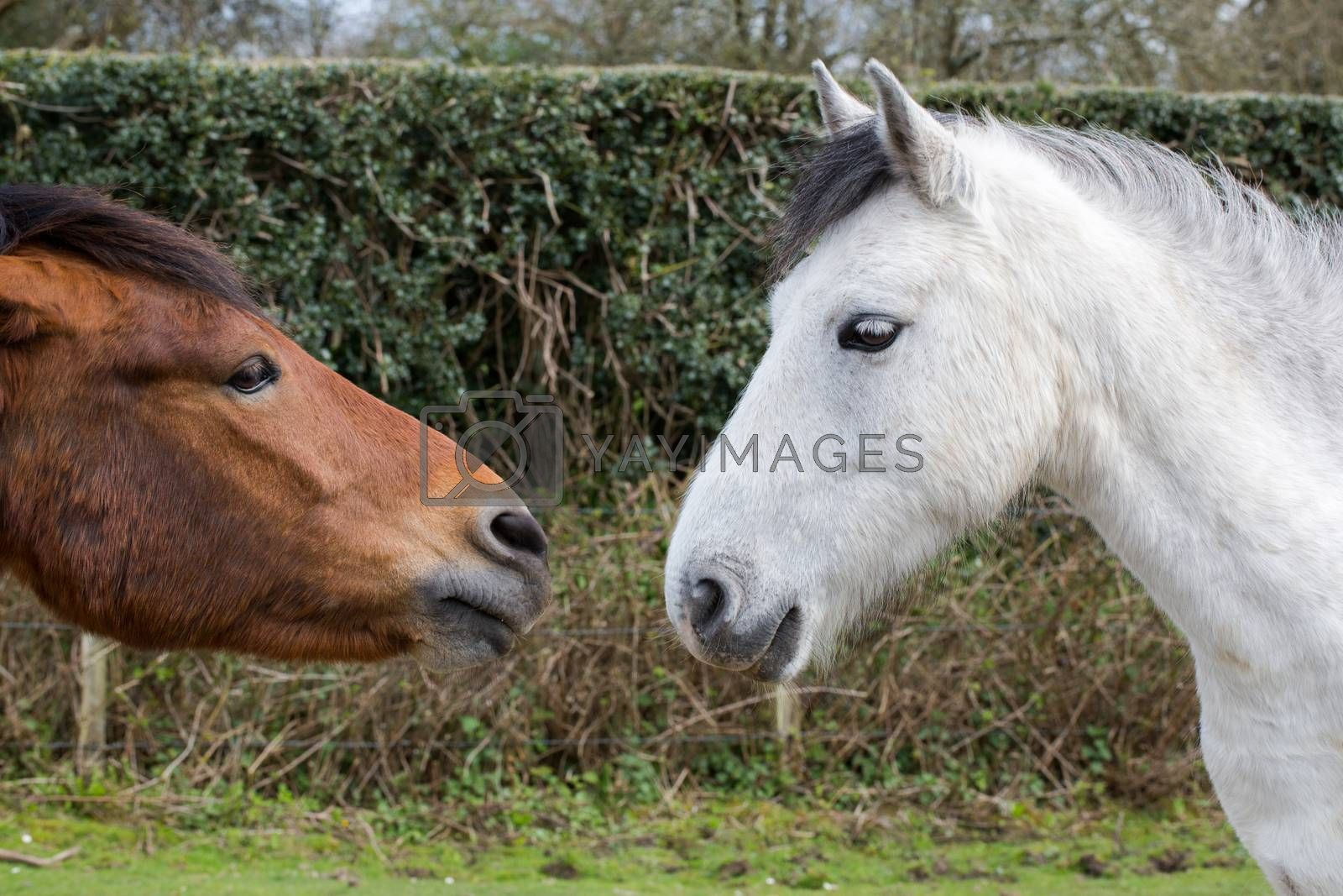 Brown and white horse wooing