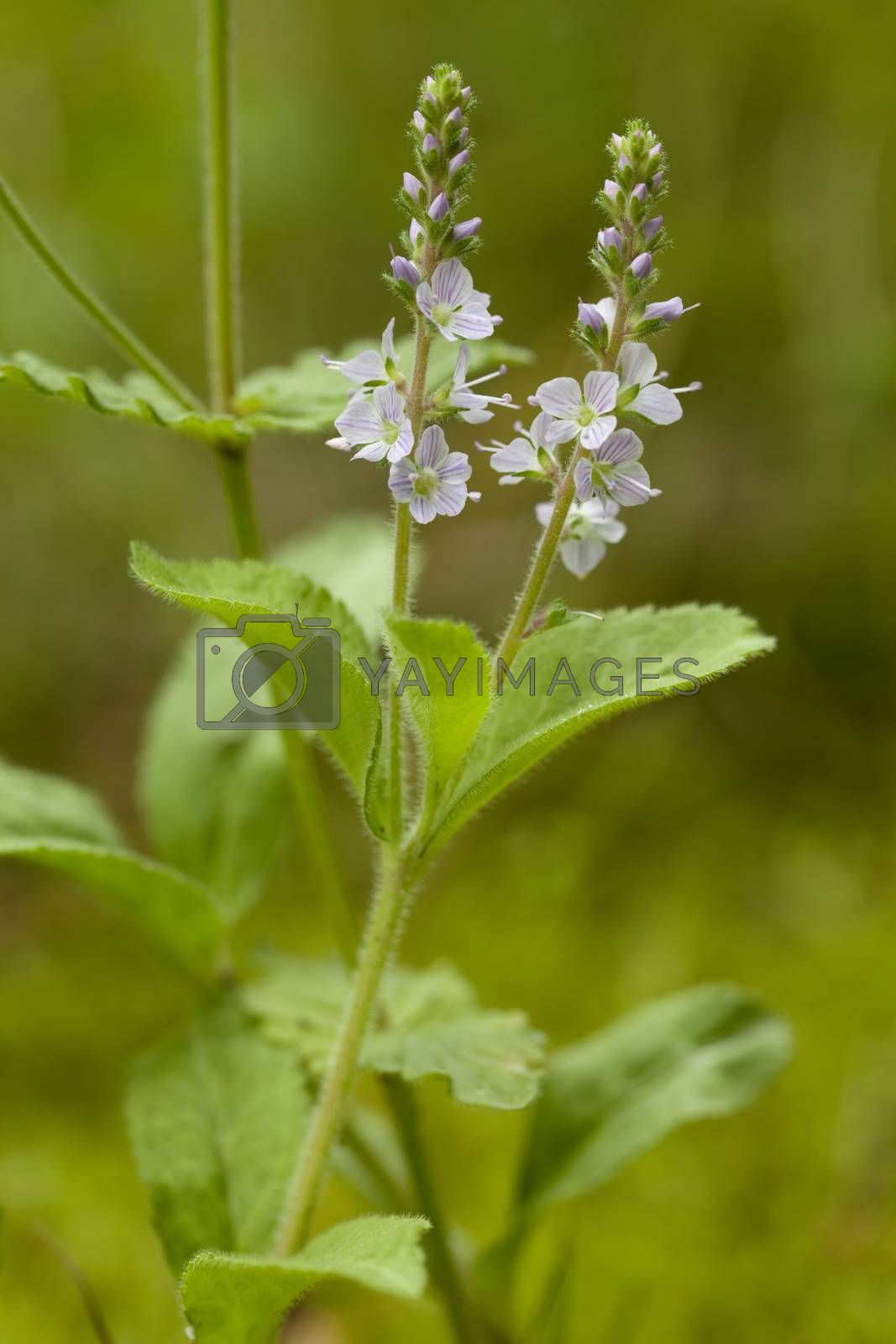 Veronica officinalis by dabjola
