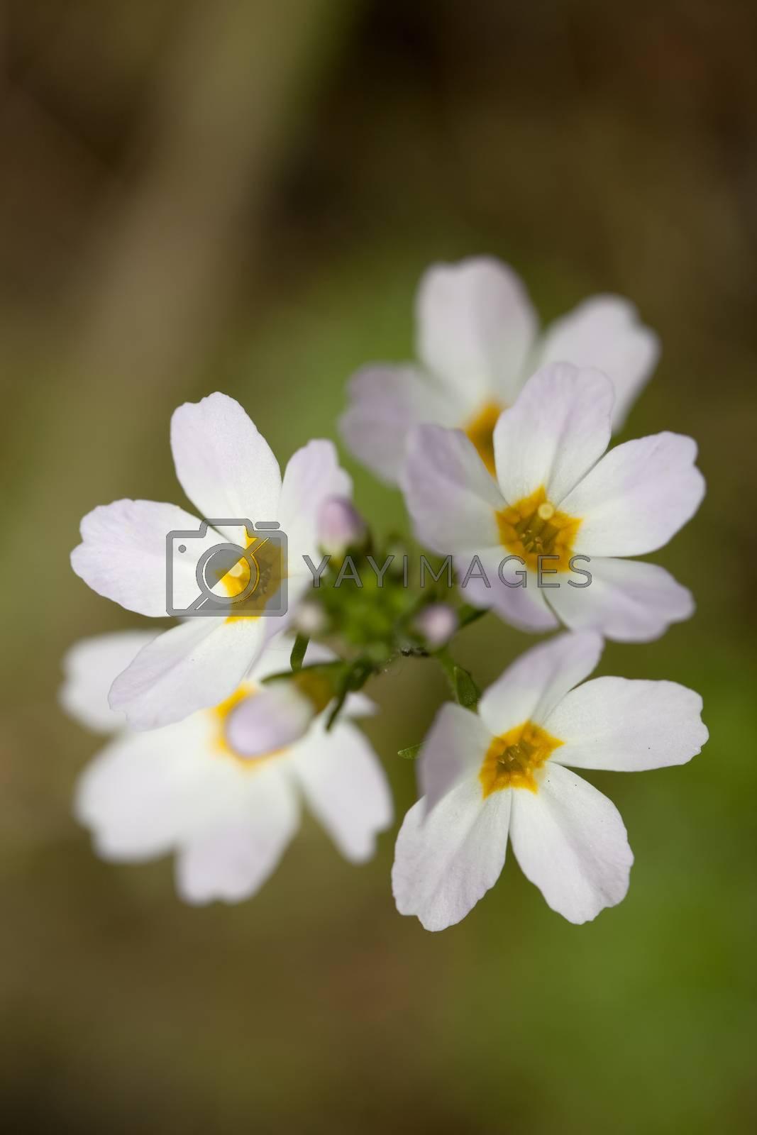 aquatic flower (Hottonia palustris) on blurred background